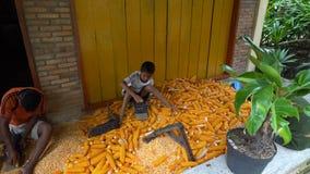 Samosir, Indonesia- 22 JUNE 2016: Local child shuck corns on Samosir island. North Sumatra Indonesia stock video
