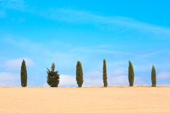 Samotna świerczyna wśród cyprysu Zdjęcie Stock