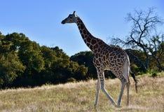 Samotna żyrafa: Giraffa camelopardalis, Skamieniały obręcz przyrody centrum Fotografia Royalty Free