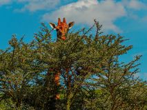 Samotna żyrafa przy Jeziornym Nakuru obraz royalty free