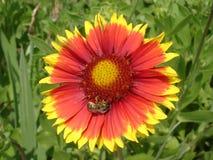 Samotna czerwieni i pomarańcze galardia kwitnie z pszczołą Obraz Stock