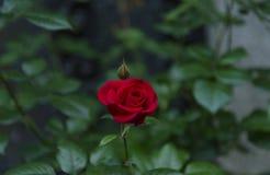samotna czerwona róża Obraz Royalty Free
