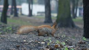 Samotna czerwona wiewiórka biega na ziemi w zwolnionym tempie zdjęcie wideo