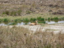 Samotna gazela Zdjęcie Stock