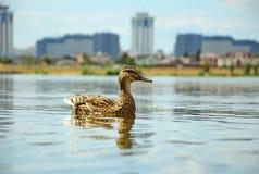 Samotna kaczka Obraz Royalty Free