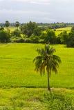 Samotna kokosowego drzewa wieś Zdjęcie Stock