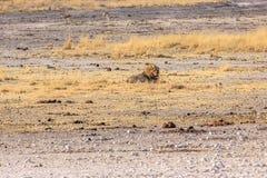 samotna lew samiec Obrazy Stock