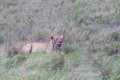 Samotna lwica zdjęcie stock