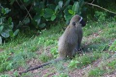 Samotna małpa ulistnieniem zdjęcia royalty free