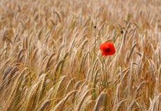 samotna pola pszenicy makowa Obrazy Royalty Free