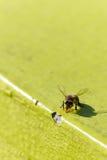 Samotna pszczoła Fotografia Stock
