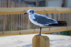 Samotna seagull pozycja na poczta Obraz Royalty Free