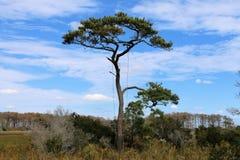 Samotna sosna na Assateague wyspie Zdjęcia Royalty Free