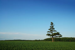 samotna sosna pole kukurydzy Fotografia Royalty Free