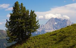 Samotna sosna z szczytem Civetta na bacground Zdjęcie Stock