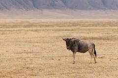 Samotna wildebeest pozycja zdjęcie royalty free