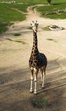 Samotna żyrafa w zoo Obraz Royalty Free