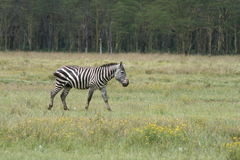 samotna zebra Obraz Royalty Free