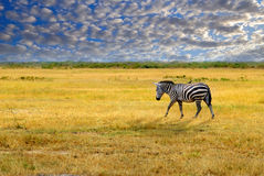 Samotna zebra Obrazy Royalty Free