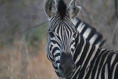 Samotna zebra Zdjęcie Stock
