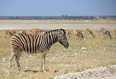Samotna zebry pozycja z impala w tle Obraz Royalty Free