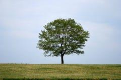 samotne drzewo Zdjęcie Royalty Free