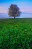 samotne drzewo Mgłowy lato ranek w górach Kwitnący drzewo na wzgórzu z mgłą Drzewo od Sumava góry, czech Republi Fotografia Stock