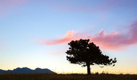 Samotne Sosnowe sylwetki i menchii chmury przy zmierzchem Obrazy Stock