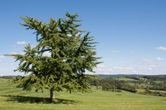 Miłorzębu drzewo Obrazy Stock