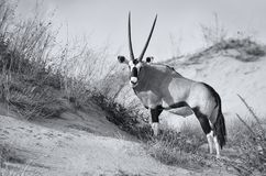 Samotnego Oryx chodząca pozycja na piasek diunie w gorącym Kalahari su Zdjęcie Stock