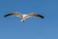 Samotnego seagull latający koszt stały zdjęcie royalty free