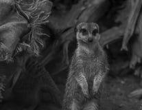 Samotnej meerkat pozyci zamknięty up Obraz Royalty Free