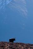 samotni yak Zdjęcia Stock