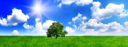 Samotnie jeden duży drzewo na zieleni polu. Panorama Zdjęcia Royalty Free