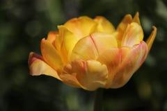 Samotnie Pełnego kwiatu jeden Kolorowi tulipany zdjęcia stock