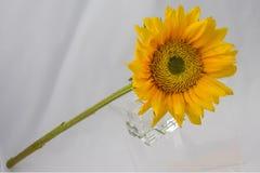Samotny Żółty słonecznik Zdjęcia Royalty Free