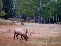 Samotny łoś w pobliskich bóbr łąkach w Skalistej góry parku narodowym Obraz Royalty Free
