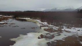 Samotny łosia amerykańskiego karmienie w bagnach Alaska zbiory wideo