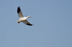 Samotny Śnieżnej gąski latanie w niebieskim niebie Zdjęcie Stock
