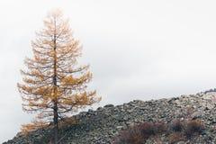 Samotny żółty modrzewiowy drzewo fotografia royalty free