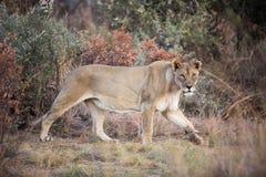 Samotny żeński lwa Panthera Leo grasuje w Pilanesberg parku narodowym, Południowa Afryka Zdjęcie Stock