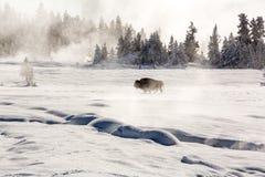 Samotny żubr trekking przez śnieżnych pola fotografia stock