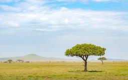 Samotny akacjowy drzewo obraz stock