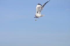 Samotny biały seagull chwyta jedzenie w niebieskim niebie zdjęcia royalty free