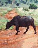 Samotny bizon krzyżuje drogę gruntową w Taita wzgórzy przyrody sanktuarium, Voi, Kenja Fotografia Stock