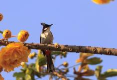 Samotny bulbul ptak Pycnonotidae Zdjęcia Stock