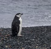 Samotny Chinstrap pingwin w Antarctica obraz stock