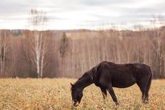 Samotny cienki czarny koń Zdjęcia Stock
