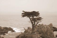 Samotny Cyprys Obrazy Stock