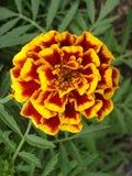 Samotny czerwieni i pomarańcze nagietka kwiat Zdjęcia Stock